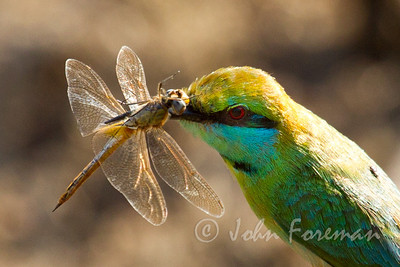 Green Bee Eater, Yala