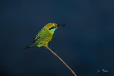 Green Bee-eater, Yala