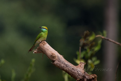 Green Bee Eater, Goa