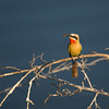 White fronted Bee Eater, Selous