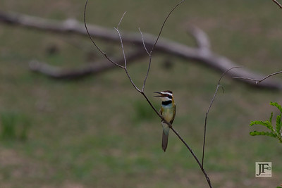 White-throated Bee-eater, Selous