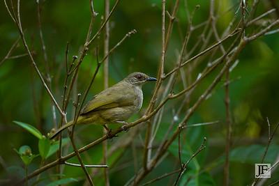 Olive-winged Bulbul, Pulau Ubin
