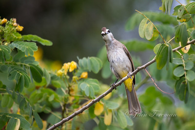 Yellow Vented Bulbul, Singapore