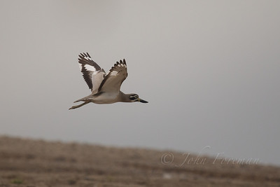 Great Stone-curlew, Chambal