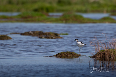 Avocet, Tollesbury Marshes