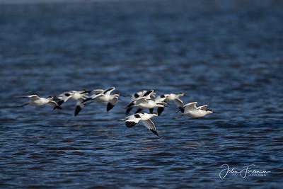 Avocets, Brownsea Island