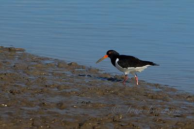 Oyster Catcher, Manningtree