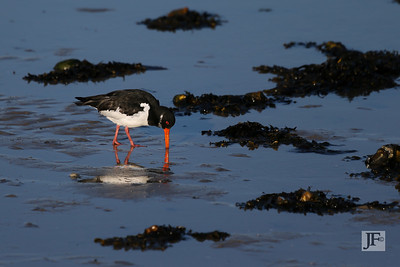 Oyster Catcher,  Poole