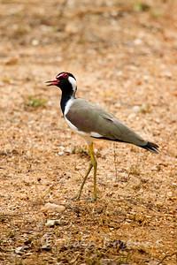 Red-wattled Plover, Yala