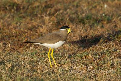 Yellow-wattled Lapwing, Yala