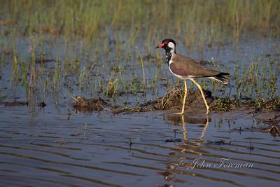 Red-wattled Plover, Wilpattu