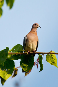 Laughing Dove, Kenya