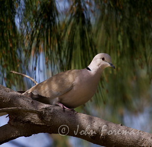 Collared Dove, Gran Canaria