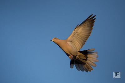 Collared Dove, Suffolk