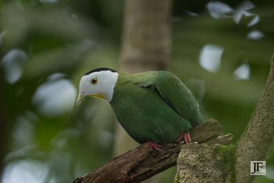 Black-naped Fruit Dove, Benalmádena (captive)