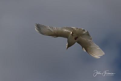 Rock Dove, Gwynedd