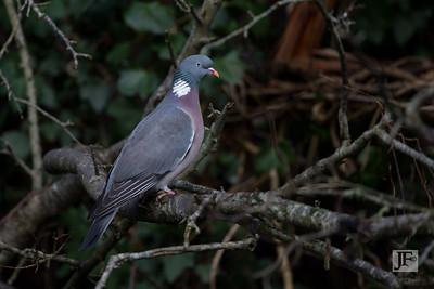 Wood pigeon, Dorset