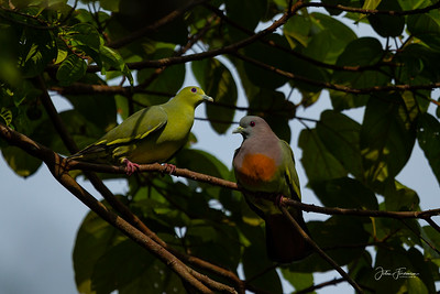 Pink-knecked Green Pigeon, Pulau Ubin