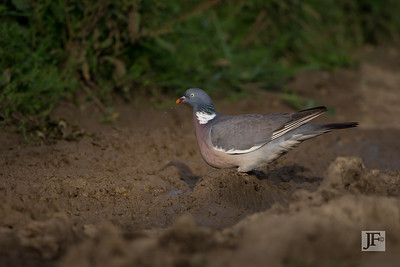 Wood Pigeon, Suffolk