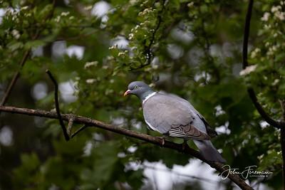 Wood Pigeon, West Sussex