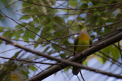 Orange breasted green pigeon, Hikkaduwa