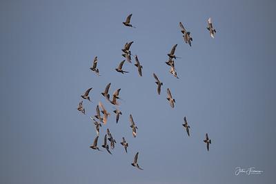 Racing Pigeons, Hamble