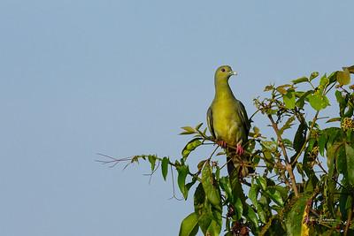 Pink-knecked Green Pigeon, Sungei Buloh