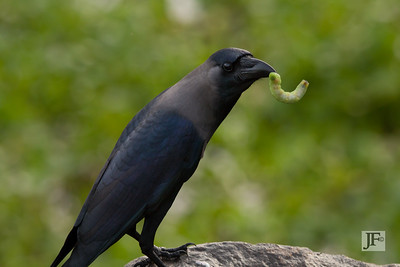House Crow, Cochin