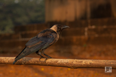 House Crow, Mumbai