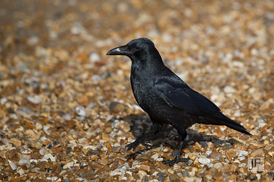 Crow, Bournemouth