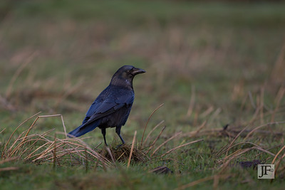 Crow, Mudeford
