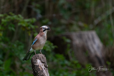Jay, West Sussex