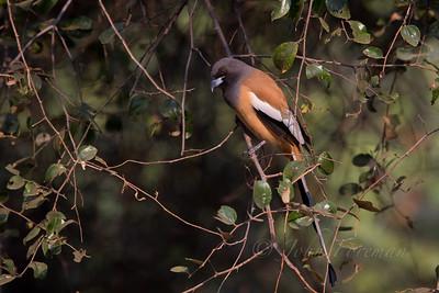 Rufous Treepie, Ranthambore