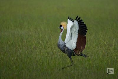 Grey Crowned Crane, Masai Mara