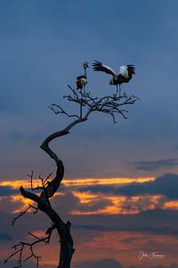 Grey Crowned Cranes, Masai Mara