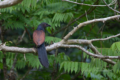 Coucal, Hikkaduwa
