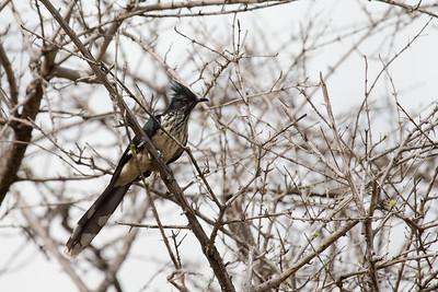 Jacobin Cuckoo, Selous