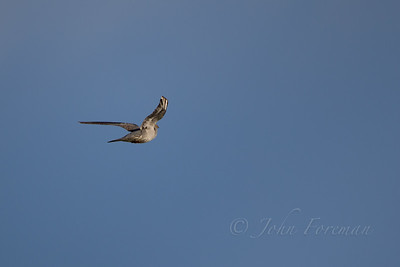 European Cuckoo, Suffolk