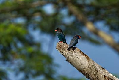 Dollar Birds, Pulau Ubin