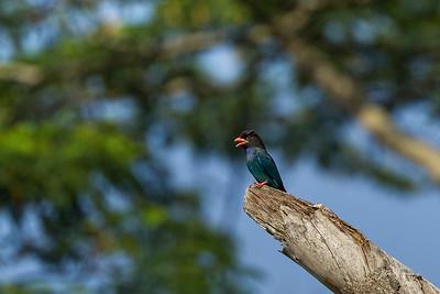 Dollar Bird, Pulau Ubin