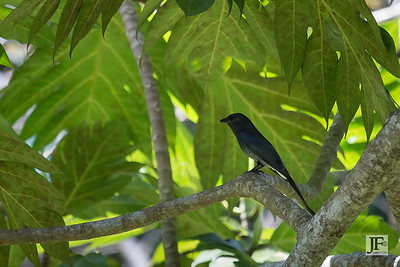 White-bellied Drongo, Hikkaduwa