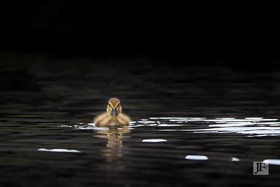 Mallard duckling, Flatford