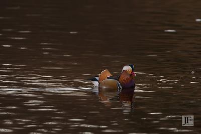 Mandarin Duck, New Forest