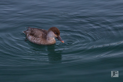 Female Red crested Pochard, Annecy