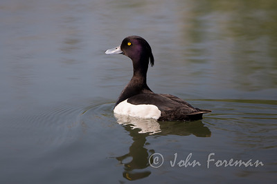 Tufted Duck, Weymouth