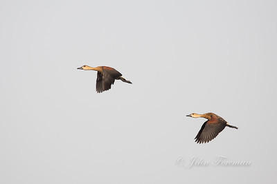 Wandering Whistling-ducks