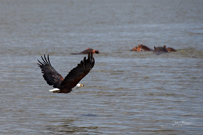 African Fish Eagle, Selous