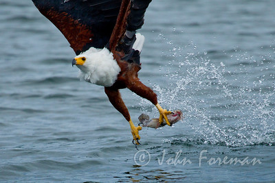 African Fish Eagle, Mfangano