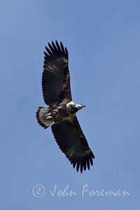 Juvenile African Fish Eagle, Kenya