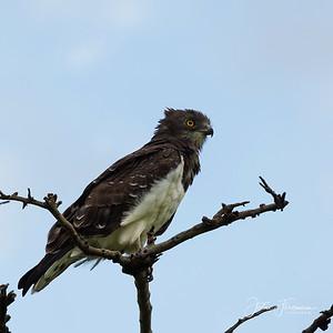 Black-chested Snake Eagle, Masai Mara